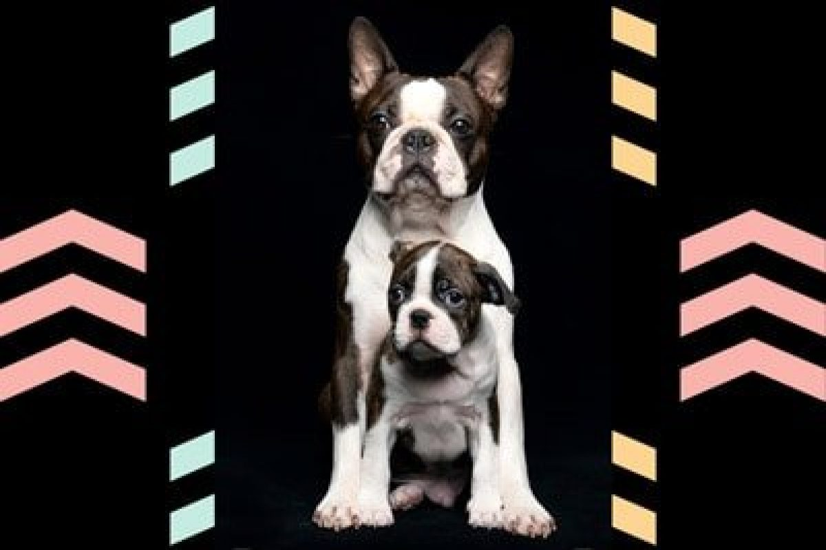 Boston Terrier Growth Stages And Puppy Development Chart