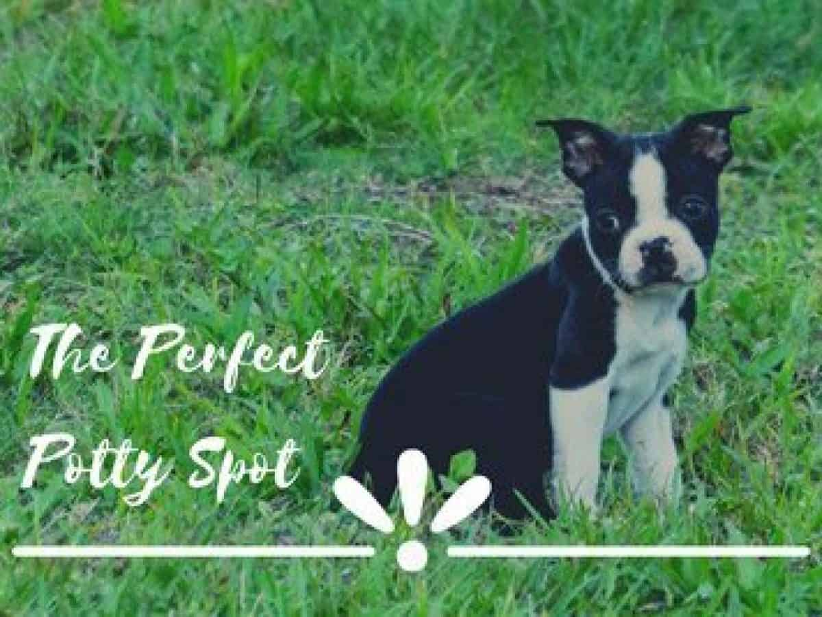 Boston Terrier Potty Training In 6 Steps